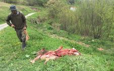 Los lobos acechan Tudanca y matan potros «a veinte metros» de las viviendas