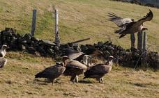 Los ganaderos achacan los ataques al aumento de la población de buitres