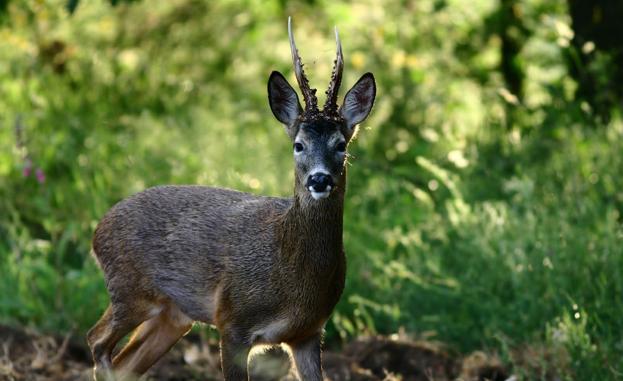 Investigado un cazador cántabro por matar sin autorización un corzo en un  coto de Palencia | El Diario Montañes