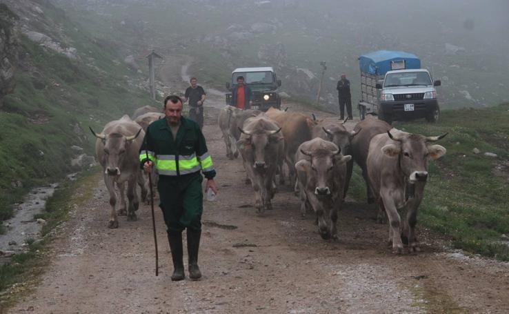 Los ganaderos de Camaleño suben el ganado a los puertos de Áliva