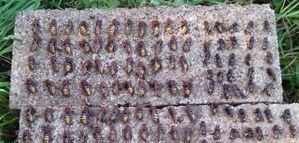 Los apicultores capturan 30.000 reinas de avispa asiática y hablan de «invasión»