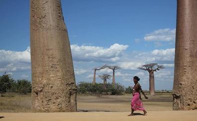 Los baobabs se nos mueren