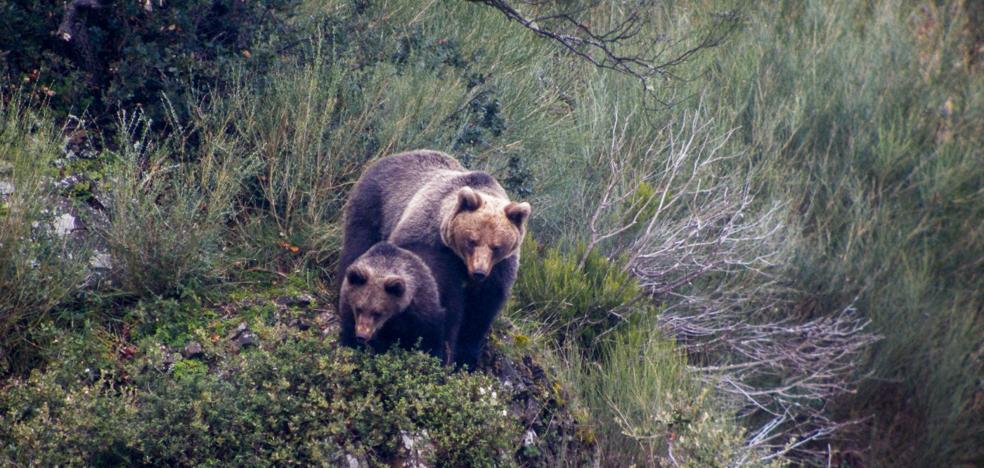 Liébana vuelve a ser tierra de osos