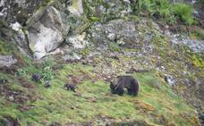 Las ventajas del oso para el territorio