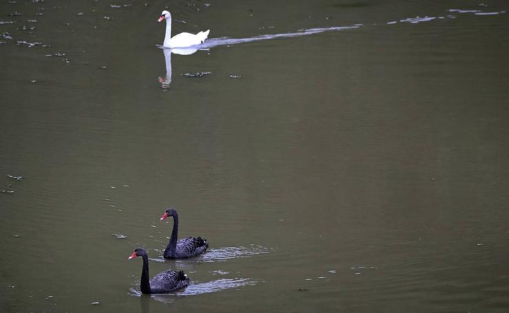 Aparecen dos cisnes negros en Oyambre