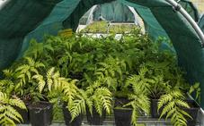 El helecho podría ser utilizado como insecticida contra pulgones