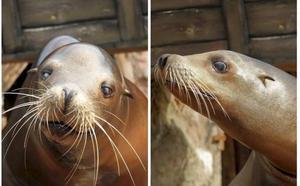 El minizoo de la Magdalena acogerá a dos de los leones marinos ciegos de Cabárceno