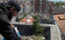 Retirados 181 nidos y casi 400 huevos dentro de la campaña de control de gaviotas en Santander