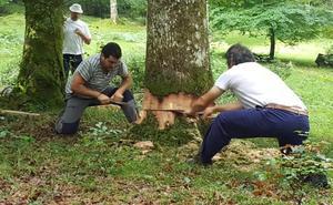 Silió elige los dos troncos de roble que darán forma a la Maya