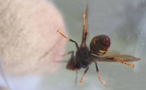 El picotazo de avispa asiática sólo es mortal en alérgicos y enfermos