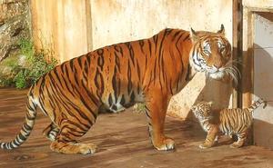 Nace un tigre de Bengala en Cabárceno 18 años después