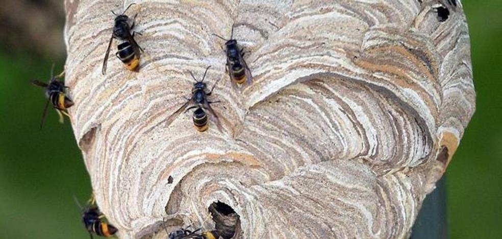 Un nido de avispa asiática provoca el cierre de las piscinas de Entrambasaguas