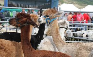 El juez anula la licencia concedida por el Ayuntamiento de Santillana para construir una granja de alpacas