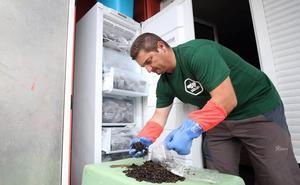 Una empresa cántabra congela 29.800 avispas asiáticas para su investigación