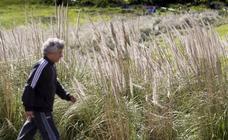 El Gobierno aprueba un plan a diez años para erradicar los plumeros, presentes en 83 municipios de Cantabria