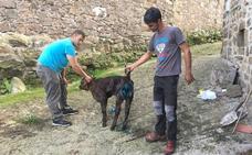 Los lobos atacan a una vaca y a su cría en pleno centro del pueblo de Sarceda, en Tudanca