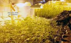Desmantelada otra plantación de marihuana en Boo de Piélagos diseñada para albergar hasta 1.200 plantas al año