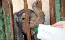 'Toribio', el nuevo elefante de Cabárceno