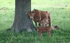 Cantabria se plantea crear un sello de calidad para leche de vaca alimentada con pasto