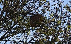 Un nido de avispa asiática alerta a los vecinos de Piasca