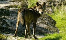 Vuelve el lobo ibérico