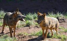 El Gobierno aprueba la Ley de Caza que mantiene al lobo como especie cinegética en Cantabria e introduce los planes de gestión