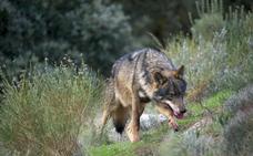 Los ecologistas lamentan que se mantenga al lobo como especie cinegética y los ganaderos y cazadores aplauden la Ley