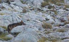 Los lobos acaban con siete cabras del ganadero de Pido al que ya mataron 33 ovejas y un mastín