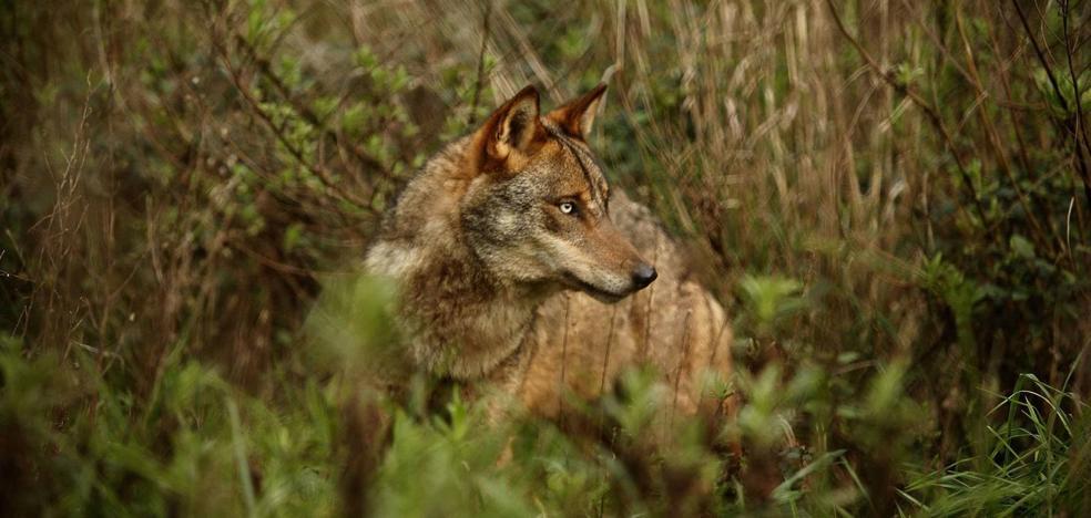 Los ecologistas denuncian una batida de lobos «ilegal» este lunes en Picos de Europa