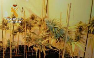 Detenida una pareja por cultivar medio millar de plantas de marihuana en su garaje