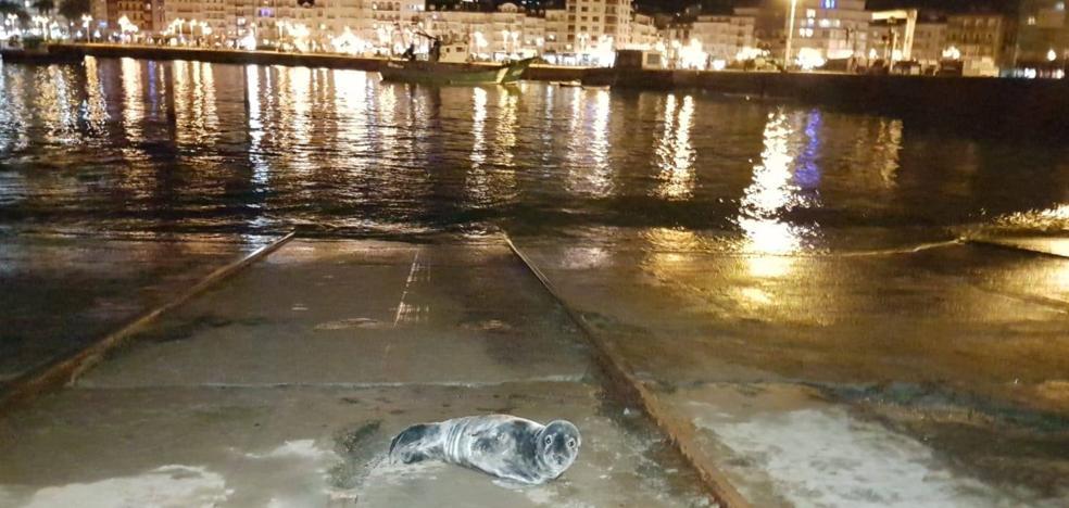 Una foca se refugia en el puerto de Castro
