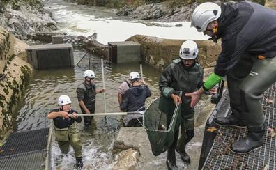 El plan para recuperar el salmón, con 5 millones de euros en 20 años, no logra repoblar los ríos cántabros