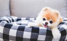 Muere Boo, 'el perro más guapo del mundo' con 17 millones de seguidores en Facebook