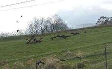 Una bandada de «más de 30 buitres» ataca a un rebaño de ovejas en Castañeda
