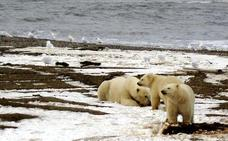 Invasión de osos polares en el Ártico ruso