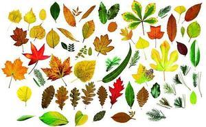 ¿Cuántas hojas de árboles eres capaz de identificar?