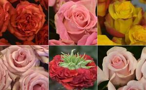 Las rosas de Ecuador, más de moda que nunca