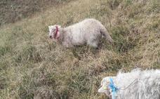 El lobo acecha los montes de Liérganes y Miera y se ceba con medio centenar de cabras y ovejas