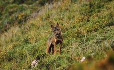 El Consejo de Caza aprueba el Plan de gestión del lobo, que podría entrar en vigor en marzo