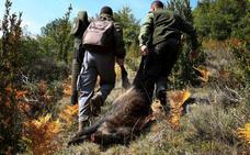 Las cacerías de jabalí aumentarán la próxima temporada un 20% debido a la proliferación de la especie