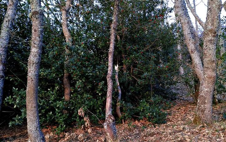 Ruta circular por un bosque de acebos próxima a Espinama