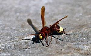 Torrelavega se blinda de trampas para combatir a la vespa velutina