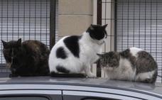 Suances inicia una campaña de control de gatos callejeros