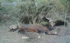 Los buitres regresan a por su presa de Caviedes