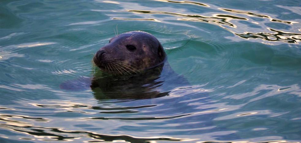 Una foca regresa a la bahía castreña
