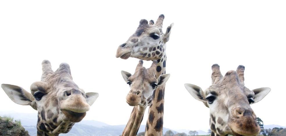 La primera de las tres jirafas que vivirán en Cabárceno llegará al recinto el día de Jueves Santo