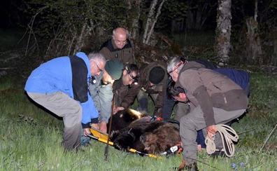 Se recupera en Cantabria un oso pardo adulto capturado herido en El Bierzo