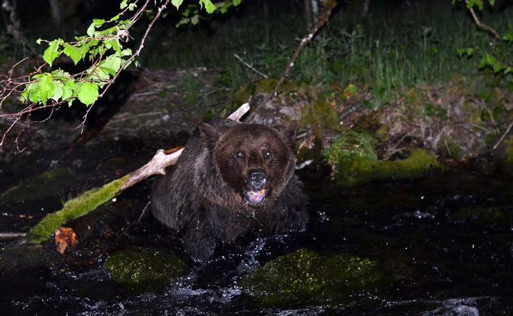 Un oso herido, rescatado en León, se recupera en Cantabria