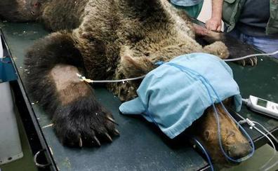Muere el oso pardo hallado en León