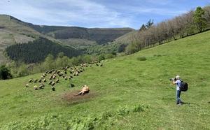 El salvaje espectáculo de los buitres leonados en los montes de Cabuérniga